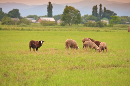 rick: a flock of sheep grazing on the field among the haystacks