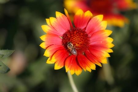 gathers: ape con striping raccoglie miele da fiori bianchi