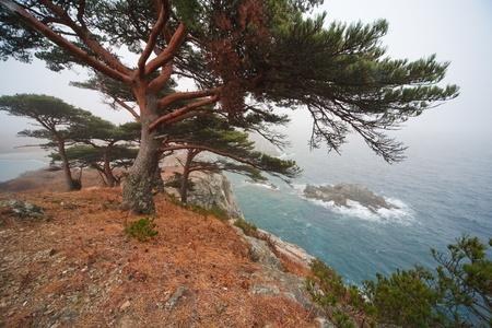 shores: Pine grave. Cedar on the shores of the sea. Stock Photo
