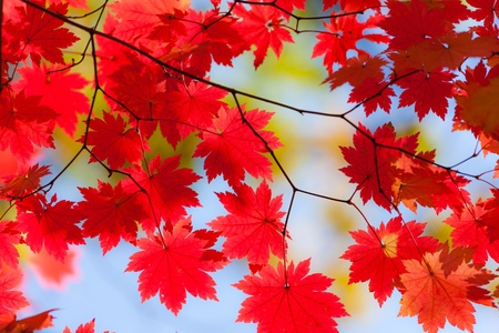 Autumn landscape. Bright colored maple leaves on the branches in the autumn forest.