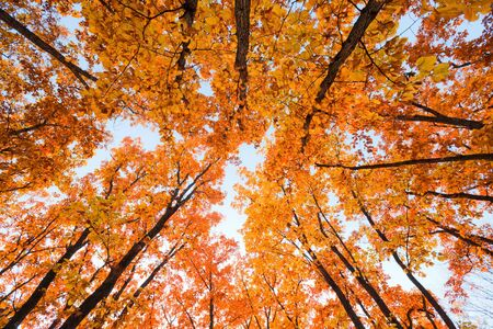 Autumn landscape. Bright colored oak leaves on the branches in the autumn forest. photo