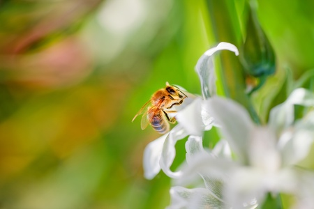 gathers: striped bee gathers honey from white flowers