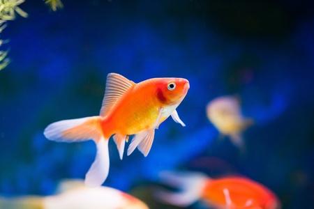 aquarium fish: cute little fish in an aquarium Stock Photo