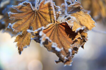frost on the withered leaves of maple