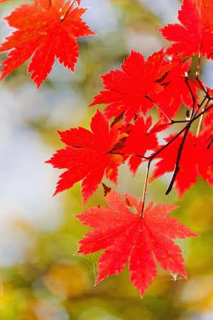 Paisaje de oto?o. Arce de color brillante se va en las ramas en el bosque de oto?o. Foto de archivo - 9996022
