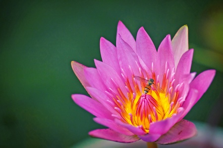 striped fly circling water lily photo
