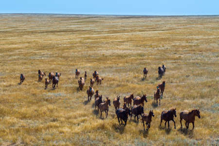 Group Of Mustangs Galloping In The Steppe In Russia