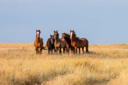 Five brown horses in the steppe in Russia