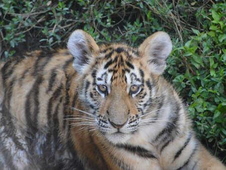 tigre cachorro: Tiger Cub Foto de archivo