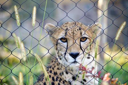 Sad cheetah Reklamní fotografie