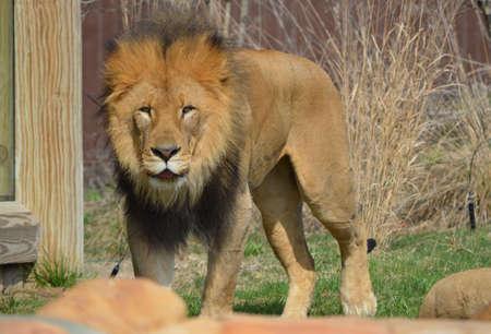 Lion King Banco de Imagens