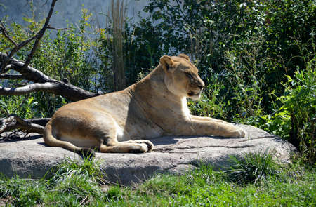 resting: Lioness Resting in the sun Stock Photo