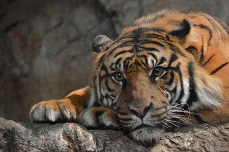 Tiger alert and awake Banco de Imagens