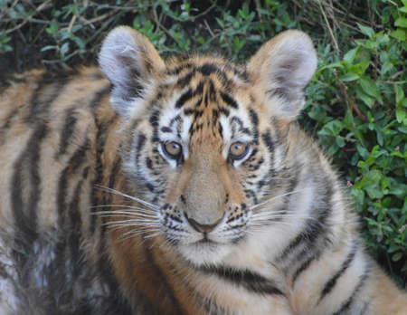 tigre cachorro: Tiger cub face Foto de archivo