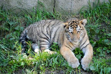 tigre cachorro: Tiger cub lying down in the grass