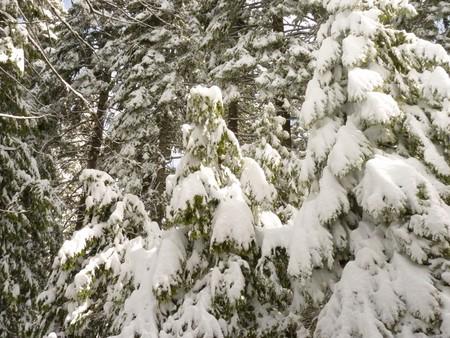 laden: trees laden with snow Stock Photo
