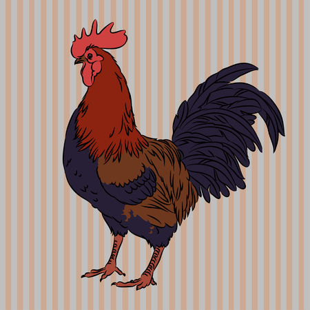 Vector illustration of realistic rooster on striped background, isolated Vector
