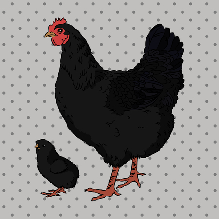 Realistic black broody chicken and baby chick, isolated Vector