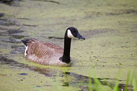 canadensis: Canada Goose branta canadensis swimming in Duckweed