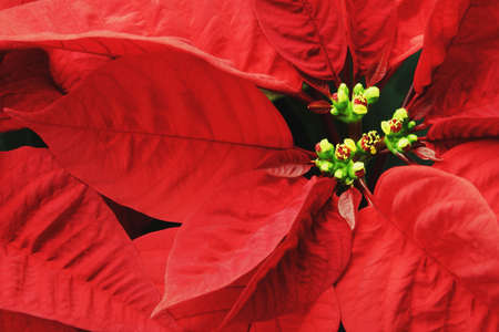 Close up of Poinsettia Stock Photo