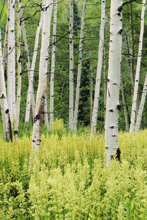 quaking aspen: Quaking Aspen Trees (Populus tremuloides) and Helleboro (Veratrum viride)...Gunnison National Forest, Colorado