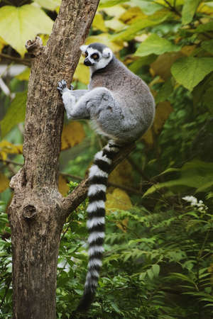 lemur: Ring-tailed Lemurs (Lemur catta) live in social groups where the males conpete for mates.  They live on a diet of fruits, flowers, herbs, and leaves with the occasional insect. Stock Photo