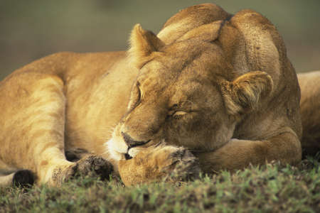 Female Lion (Panthera leo) sleeping on the savannah of the Masia Mara Kenya, Africa Stock Photo - 661241
