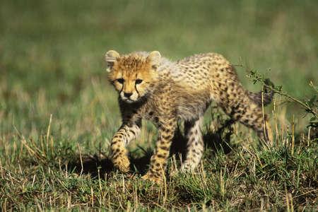 cheetah cub: Cheetah Cub (Acinonyx jubatus) in the Masia Mara Game Reserve, Kenya, Africa