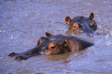 Hippopotamus (Hippopotamus amphibius) in the Mara River, Masia Mara Game Reserve, Kenya Africa Stock fotó