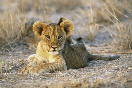 Eight week old Lion cub (Panthera leo) Masia Mara Kenya, Africa