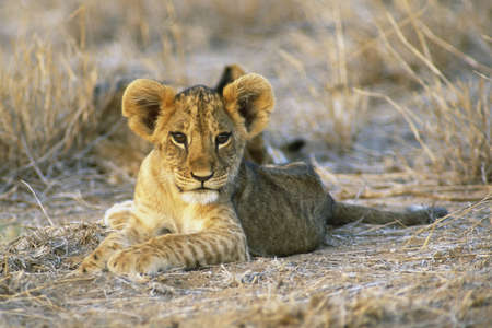 mara: Eight week old Lion cub (Panthera leo) Masia Mara Kenya, Africa