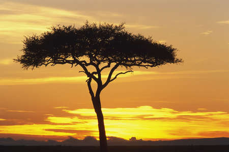 acacia tree: View of an orange and yellow sunrise through Acacia Tree, Masai Mara Game Reserve, Kenya, Africa
