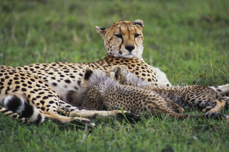 Cheetah (Acinonvx jubatus) nursing young on the Masai Mara Game Reserve, Kenya, Africa Stock Photo - 672357