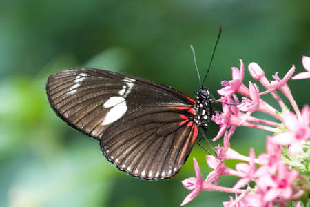 america centrale: Crimson-patch Longwing Butterfly (Heliconius erato) anche conosciuto come il postino Longwing. Originaria del Nord America del Sud attraverso l'America centrale e il Messico