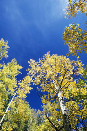 quaking aspen: View looking up at the tops of Quaking Aspen trees Populus tremuloides with golden fall foliage, Colorado, United States
