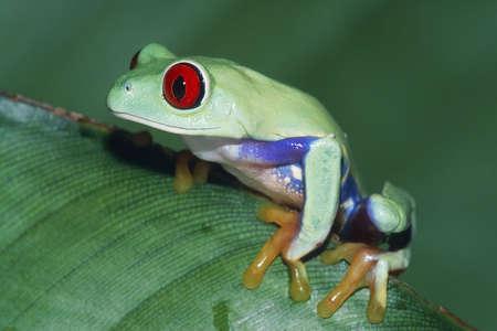 agalychnis: Red-eyed Treefrog (Agalychnis callidryas)