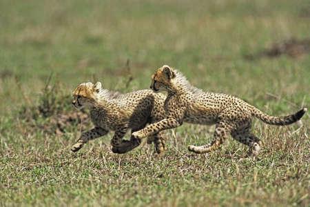 guepardo: Cheetah Cub (Acinonvx jubatus) jugando en el Masai Mara Game Reserve, Kenia, �frica