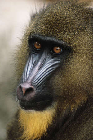 antagonistic: Mandrill  (Papio sphinx) Native to small area of western Africa just above the Equator