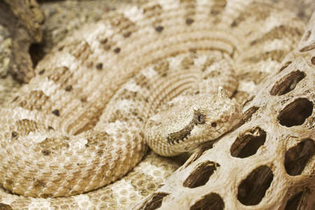 Mojave Desert Sidewinder  Crotalus cerastes cerastes  Native to south-central California south and east of the Sierras south to roughly the San Bernardino county line. Ranges east through Nevada to extreme southwestern Utah and south to extreme west-centr Stock Photo - 733429
