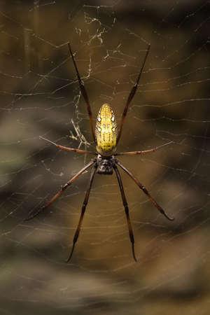 Madagascar Giant Silk Spider (Nephila madagascarensis)  Found throughout Madagascar and Southern Africa Фото со стока