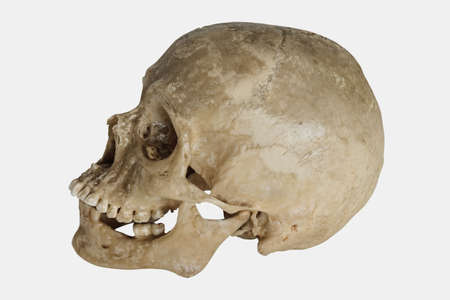 Human Skull (Homo sapiens) Stock Photo - 735917