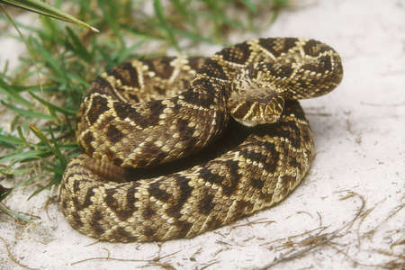 southeastern: Eastern Diamondback Rattlesnake (Crotalus adamanteus) native to the southeastern United States. Growes to a length of 6 feet.