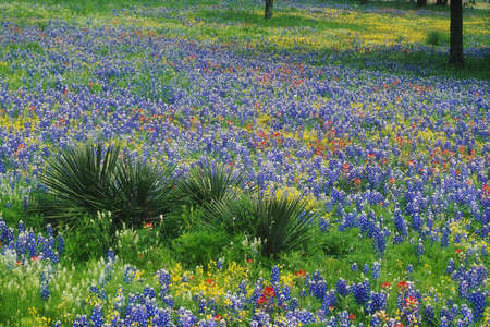 bluebonnet: Field of Bluebonnets and Paintbrush, Texas Hill Country