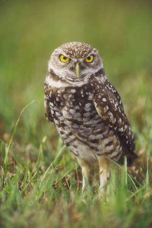 species: Burrowing owl (Athene cunicularia) adult at burrow, Cape Coral, Florida. The burrowing owl is a candidate for the endangered species list in the United States, and is considered endangered in some provinces of Canada as well.