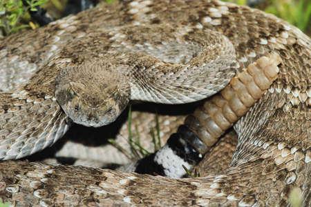 rattlesnake: Western Diamondback Rattlesnake (Crotalus atrox) native to the southwestern United States. Growes to a length of 6 feet.
