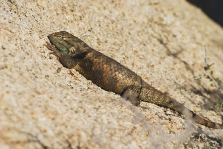 desert lizard: Desert Spiny Lizard (Sceloporus magister) sunning itself
