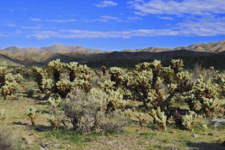 cholla: Bigelow holla Cactus (Opuntia biglovii)  also known as the Teddybear or Jumping Cholla.  Desert landscape in the Cholla Cactus Garden of Joshua Tree National Park, California,
