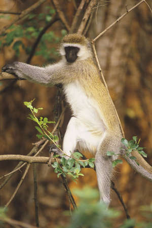 savannas: Black-faced Vervet Monkey (Cercopithecus aethiops). Native to the woodlands and savannas of central and south Africa.