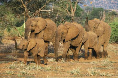 pachyderm: African Elephant (Loxodonta africana) herd, Samboro National Reserve, Kenya, Africa Stock Photo