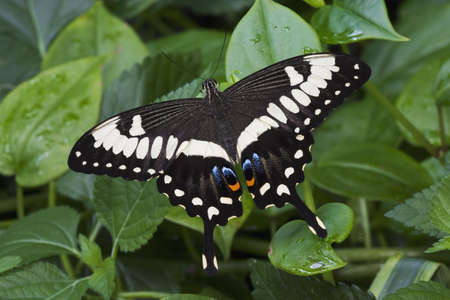 swallowtails: Emperor Swallowtail Butterfly (papilio ophidicephalus) NAtive to easten Kenya, Tanzania, southern Zaire, and northern Zambia